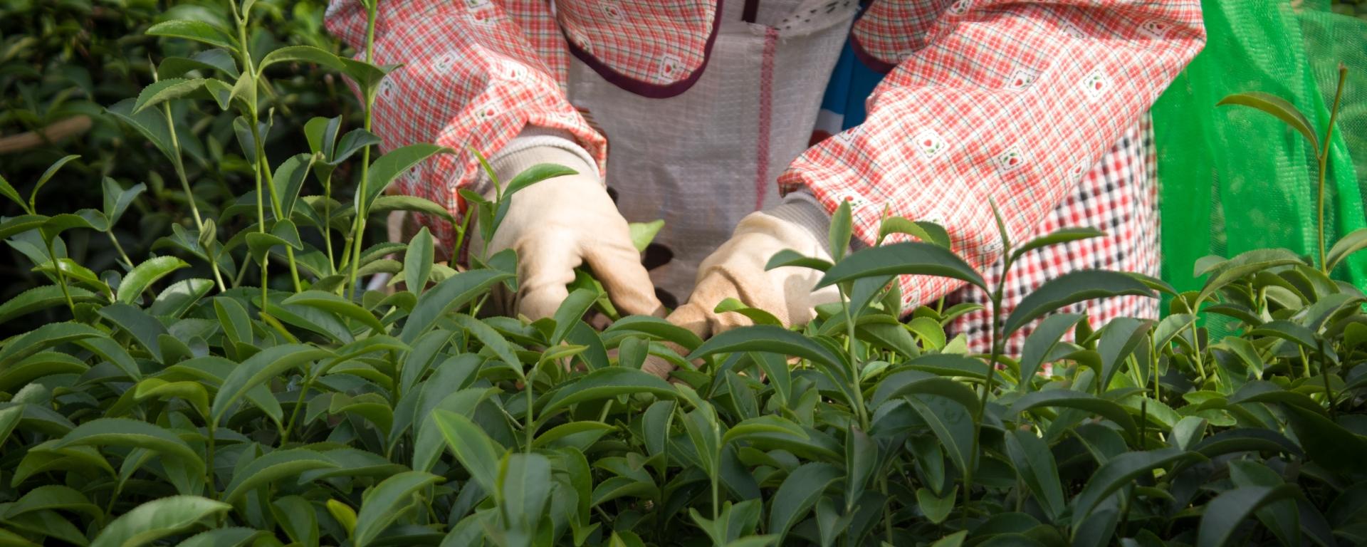 苗栗市貓裏紅紅茶茶園